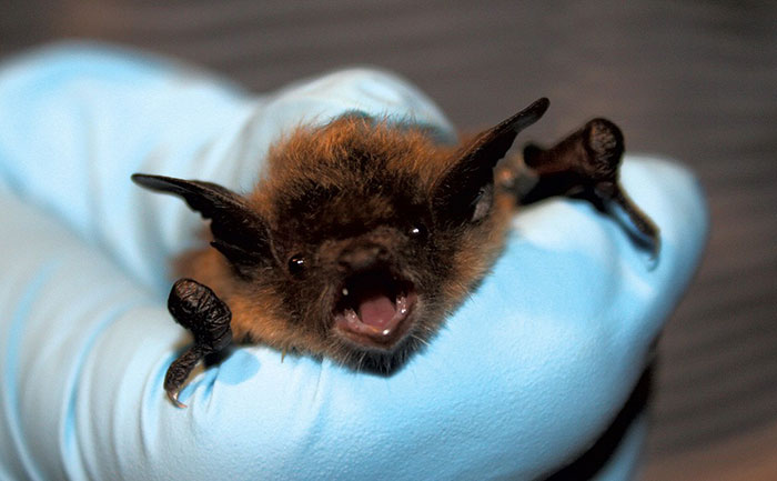 Bat, The Perfect Carrier of Viruses